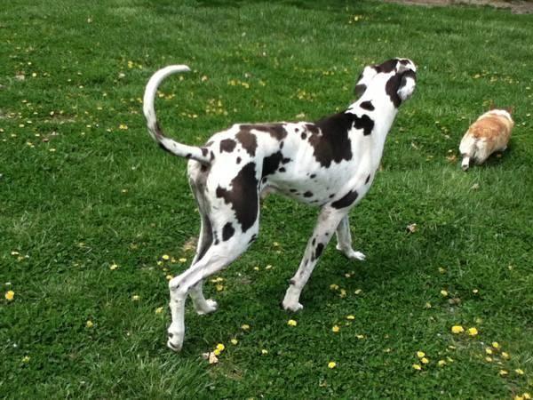 Great Dane Puppies For Sale In Marshfield Missouri Classified