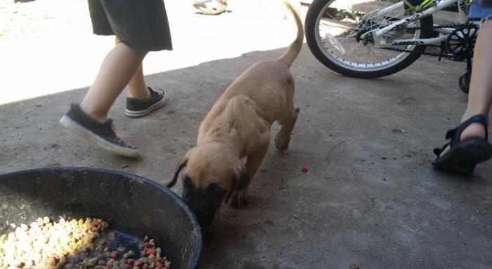 Great Dane Puppies For Sale In Colorado Springs Colorado Classified