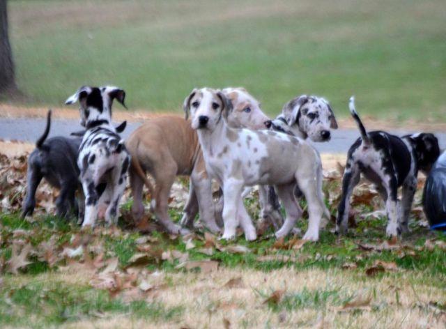 Great Dane Fawnequin Great Dane Puppies! Fa...