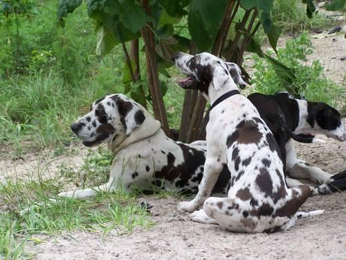 Great Dane puppies in (BELL)