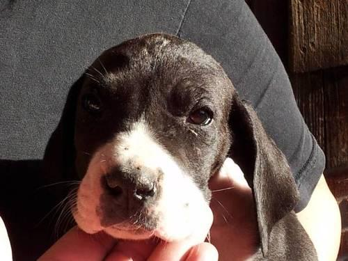 Great Dane Puppy 7 Weeks Old For Sale In Pueblo Colorado Classified