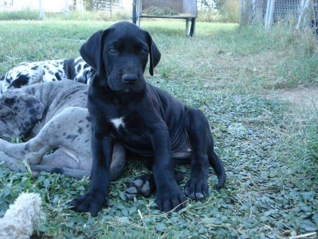 Great Dane puppy black female Hereford, Az for Sale in ...