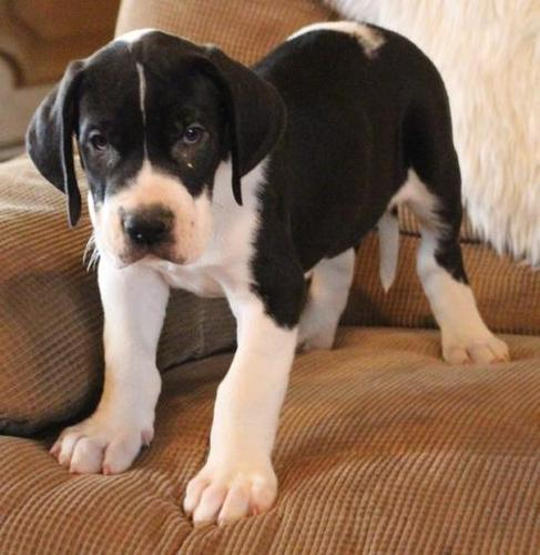 Great Dane Puppy for Sale - Adoption, Rescue for Sale in ...