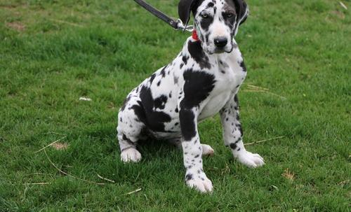 Great Dane Puppy For Sale Adoption Rescue For Sale In Goshen