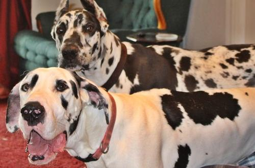 Great Dane Puppy for Sale - Adoption, Rescue
