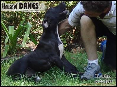 Great Dane Puppy For Sale - Brutus