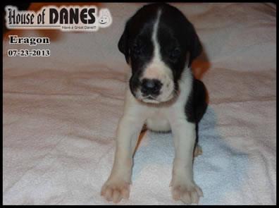 Great Dane Puppy for Sale - Eragon