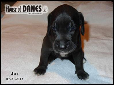 Great Dane Puppy For Sale - Jax