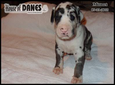 Great Dane Puppy For Sale - Monet