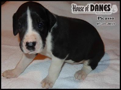 Great Dane Puppy For Sale - Picasso