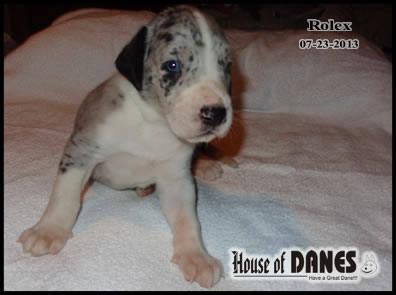 Great Dane Puppy For Sale - Rolex