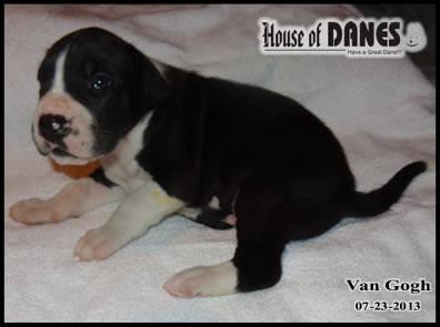 Great Dane Puppy for Sale - Van Gogh