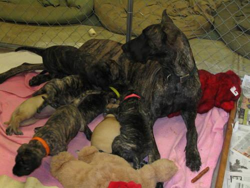 Great Dane Pups- Champion Lines-Huge Dogs
