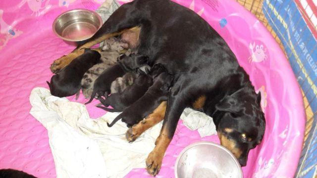 The gallery for --> Rottweiler Great Dane Puppies