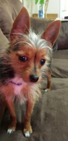 yorkie chihuahua mix for sale great little conpanuion yorkie chihuahua mix 8 months 3078