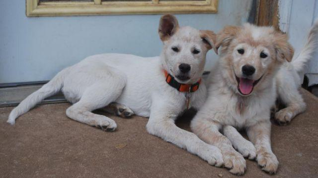 great pyrenees australian shepherd mix pups shots and spay for