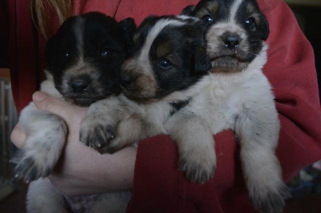 Great Pyrenees Border Collie Blue Heeler Cross Puppies For