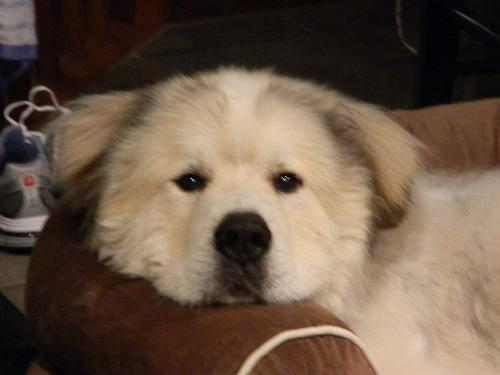 Great Pyrenees Fozzie Kong Large Adult Male Dog