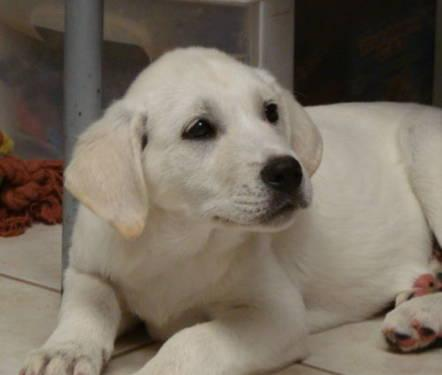 Great Pyrenees - Jilly - Large - Baby - Female - Dog for ...