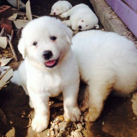 Great Pyrenees LGD Puppies!