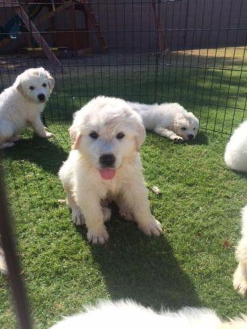 Great Pyrenees Puppies- Ready Aug 24th