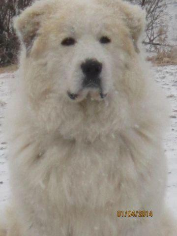 Great Pyrenees puppies Born April 8th only 1 left to