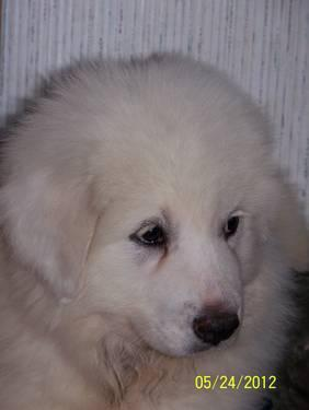 Great Pyrenees - Sassy - Large - Young - Female - Dog