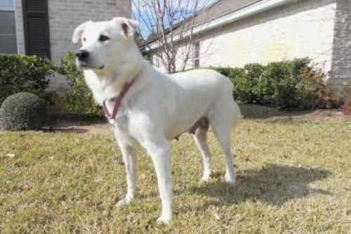 Great Pyrenees - Snow White - Large - Adult - Male -