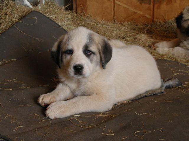 Great Pyrenees x Kangal pup 8wks