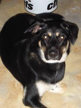 Great Shepherd Mix Female Dog for Adoption 1 year old
