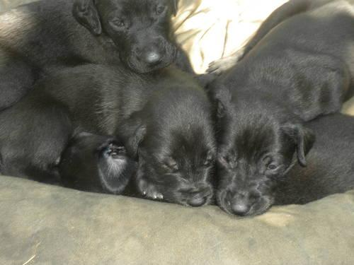 Great Doodle ( Great Dane/Standard Poodle mix) Puppies for Sale in