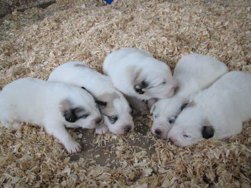 great pyreneess for sale in all states dog breeds picture