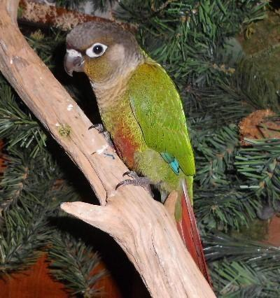 Green Cheek Conure & Pearl White Face Cockatiel for Sale ...
