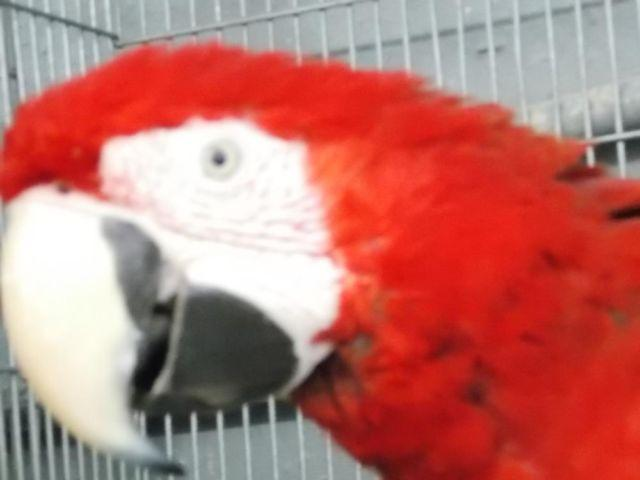 GREENWING MACAW WHOLE FAMILY