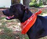 Greyhound - Mindy - Large - Adult - Female - Dog