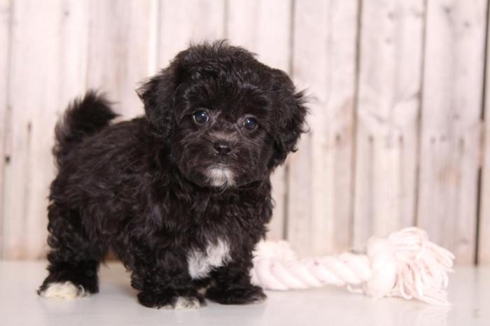 Shih Poo For Sale In Ohio Classifieds Buy And Sell In Ohio