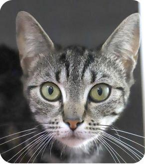 Grizzabella 24494-c Domestic Shorthair Young Female