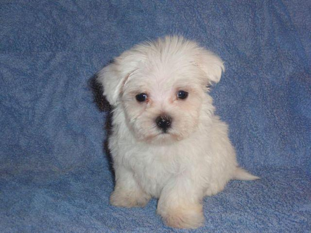 Grotes Akc Maltese Puppies For Sale In Co Bluffs Iowa Classified