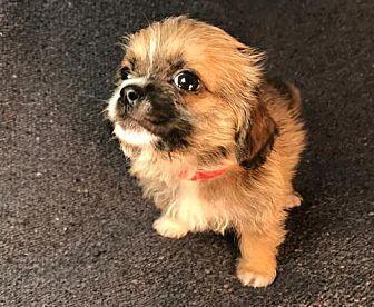 Gryffin Brussels Griffon Puppy Male for Sale in Albertville