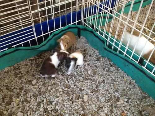 Guinea Pig Babies for Adoption!