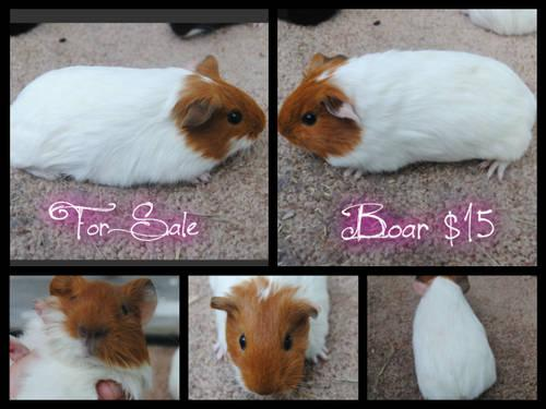 Guinea Pig - May - Small - Young - Female - Small  Furry -4630