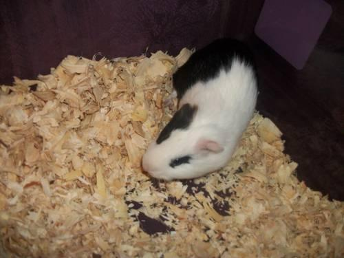 guinea pigs 10 to re-home. males and females