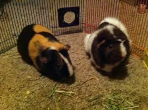 GUINEA PIGS - $200 (Tuscaloosa )