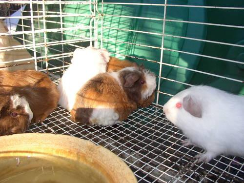 Guinea Pigs - $4.00 and up