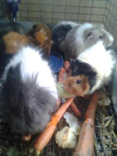 Guinea Pigs HERE!