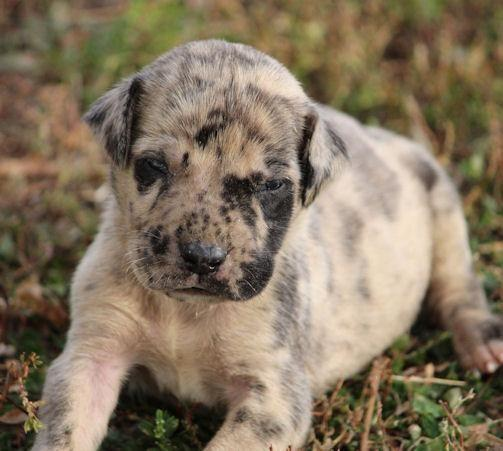 Gunner Huge Fawn Merle Male Mastidane Puppy English