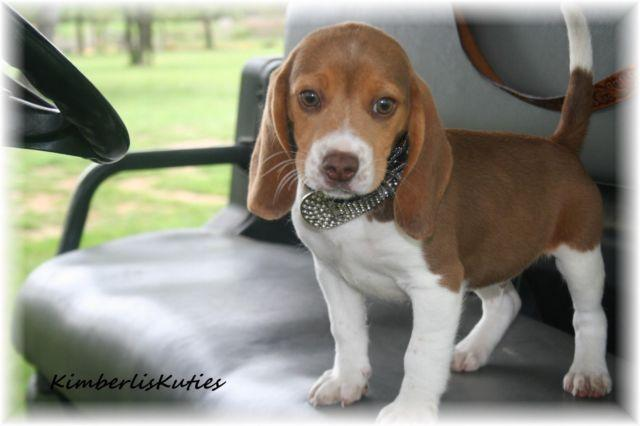 Gunner Pocket Beagle Chocolate Male For Sale In