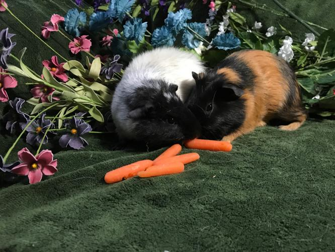 Gunther and Moby Guinea Pig Young - Adoption, Rescue for ...