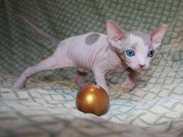 Hairless Kittens Sphynx Kittens In Austin Tx For Sale