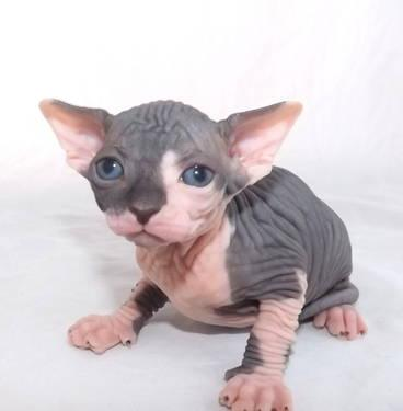 Sphynx Cat Breed For Sale